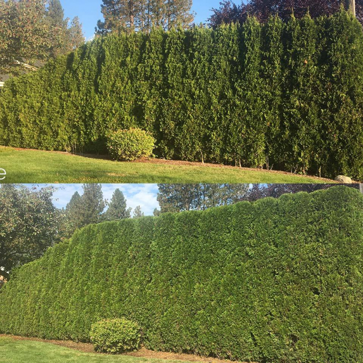 arborvitae hedge pruning in spokane before and after